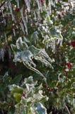 Stechpalmenblätter und -beeren bedeckt mit Eis auf Stechpalmenstrauch Lizenzfreies Stockfoto