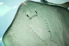 Stechrochen in der Bewegung im Wasser Stockfoto