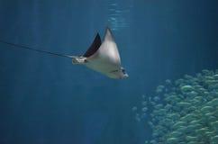 Stechrochen, der tief in Richtung zu einem Fischschwarm taucht lizenzfreie stockfotografie