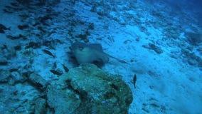 Stechrochen, der unter Wasser entlang dem Meeresgrund schwimmt stock video
