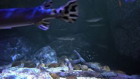 Stechrochen, der zwischen die Felsensteine in der Tiefe schwimmt stock footage