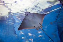 Stechrochen fischt frei schwimmen Stockbilder