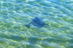 Stechrochen in Pazifischem Ozean Lizenzfreie Stockfotografie