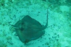 Stechrochen und Remora Unterwasser Stockbilder