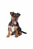 Steckfassungsrussel-Terrier lizenzfreie stockfotografie
