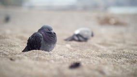 Stedelijke duif op het strand Stock Afbeeldingen