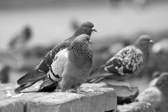 Stedelijke duiven Royalty-vrije Stock Fotografie