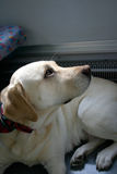 Stedelijke Hond II Royalty-vrije Stock Afbeeldingen