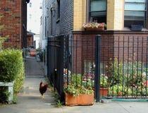 Stedelijke kippenhaan de West- zij van Chicago op los met kat het letten op royalty-vrije stock foto