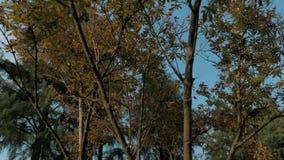 Stedicam射击了大树、绿色叶子、天空蔚蓝和阳光在美好的自然本底 股票视频