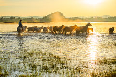The steeds and herd in water Stock Image