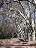Steeg met hoge witte bomen Stock Foto