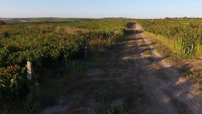 Steeg onder rijen van wijngaardmening van hommel stock videobeelden