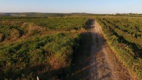 Steeg onder rijen van wijngaardmening van hommel stock video