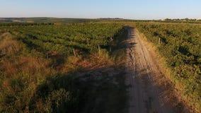 Steeg onder rijen van wijngaardmening van hommel stock footage