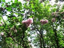Steeg van het botanische park met lilac struiken, aard, greens, groene installaties stock afbeeldingen