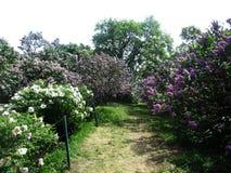 Steeg van het botanische park met lilac struiken, aard, greens, groene installaties Stock Foto