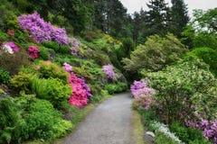 Steeg van rododendrons Stock Afbeeldingen