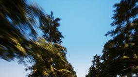 Steeg van sparren tegen de wolkenloze hemel stock footage