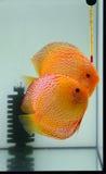 Steek discus in aquarium in brand stock foto's
