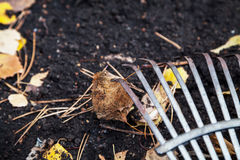 Steel fan rakes collect fallen autumn leaves close-up. Steel fan rakes treated soil closeup. birch leaf rake punctured clove. View from above Stock Photography