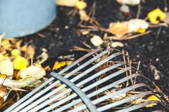 Steel fan rakes collect fallen autumn leaves closeup. Steel fan rakes treated soil closeup. birch leaf rake punctured clove. View from above Stock Image