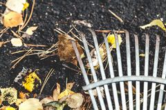 Steel fan rakes collect fallen autumn leaves closeup. Steel fan rakes treated soil closeup. birch leaf rake punctured clove. View from above Royalty Free Stock Photos