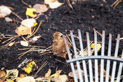 Steel fan rakes collect fallen autumn leaves close-up. Steel fan rakes treated soil closeup. birch leaf rake punctured clove. View from above Royalty Free Stock Photos