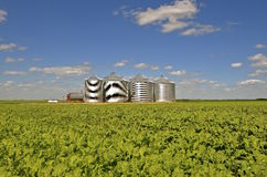 Steel grain bins in a sugar beet field Stock Images