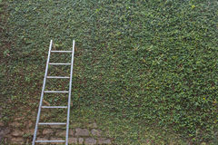 Steel ladder on green leaf ivy plant covered stone fence wall