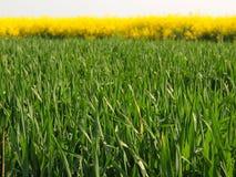 Steel van tarwe op het de lente groene gebied van bloeiende verkrachtingen, de groene stelen van bodemkant Royalty-vrije Stock Afbeelding