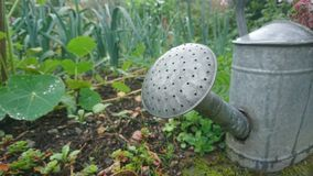 Galvanised watering can in a country garden. Steel watering can silver garden raised vegetable patch bed dripping raining lush green verdant weeds nasturtiums royalty free stock images