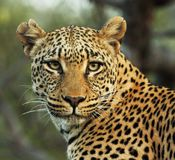 Steely-eyed leopard. Alert African leopard Panthera pardus pardus  looking directly into the camera lens exuding power and strenght. This magnificent animal is Royalty Free Stock Photo