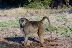 Steely eyes of a Baboon. Looking at the camera Stock Photography
