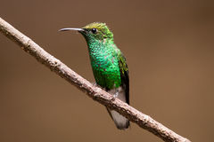 Steely-vented hummingbird. Perched in Costa Rica Stock Photo