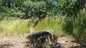 Steen op ayu-Dag in het pluimgras stock video