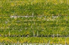 Steen teracces met wijngaarden stock fotografie