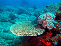 Steenachtige koralen Royalty-vrije Stock Fotografie