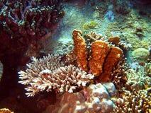 Steenachtige koralen van het zuiden-Chinese overzees Stock Afbeeldingen
