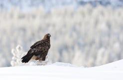 Steenarend, Golden Eagle, Aquila chrysaetos royalty free stock photography