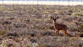 Steenbok - парк живой природы Стоковое Фото