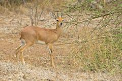 Steenbok Stock Photos