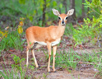 Steenbok Royalty Free Stock Images