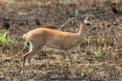 Steenbok Royalty Free Stock Photo