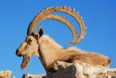 Steenbok Royalty-vrije Stock Afbeeldingen