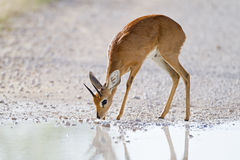 Steenbok Photo libre de droits