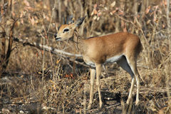 Steenbok stock foto