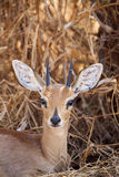 Steenbok. A young steenbok (Raphicerus campestris) male sitting in the bush and looking at the camera stock image