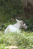 Steenbok Royalty-vrije Stock Foto's