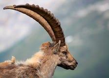 Steenbok Royalty-vrije Stock Foto